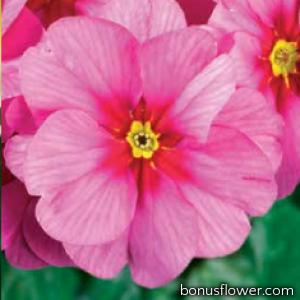 Примула бесстебельная MF Springsun Pink(Rose)