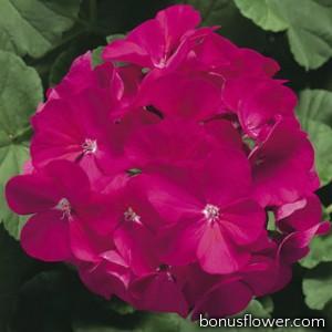 Пеларгония Ringo® 2000 F1 Violet