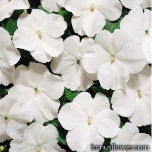 Бальзамин  Tempo: White