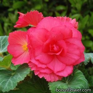 Бегония клубневая Amerihybrid Roseform Rose