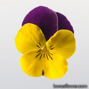 Виола Admire™ F1 Yellow Purple Wing