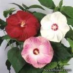 Гибискус мускусный - Hibiscus moscheutos