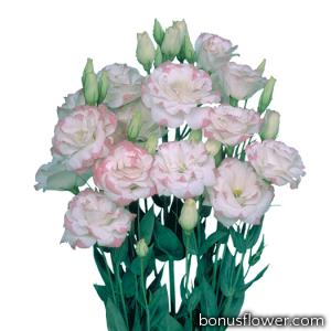 Эустома (Лизиантус) Mariachi®: Pink Picotee