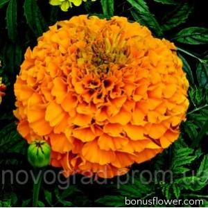 Бархатцы прямост Perfection™ Orange