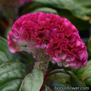 Целозия гребенчатая Concertina (h 20-25cm) Pink