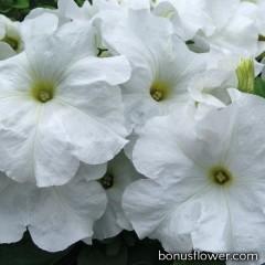 Петуния крупноцв Limbo GP white