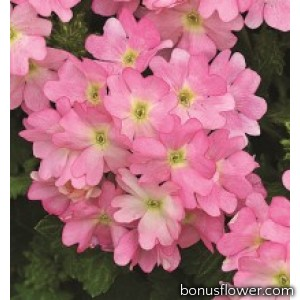 Вербена Tuscany® Pink Picotee