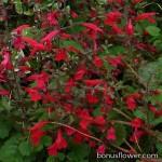 Сальвия ромериана - Salvia romeriana