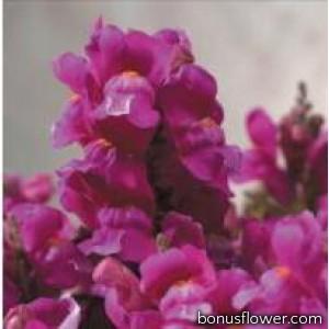 Львиный зев  - Floral Showers: Lilac