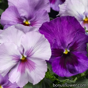 Виола Delta® F1 Lavender Shades