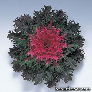 Капуста декоративная Coral F1 Queen