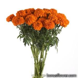 Бархатцы Xochi Orange, на срезку (h 61-91cm, w 15-25cm)