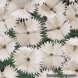 Гвоздика гибридная  IDEAL SELECT WHITE