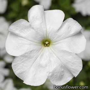Петуния крупноцв Duvet® F1 White
