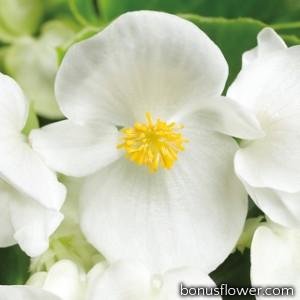 Бегония вечноцв Topspin White