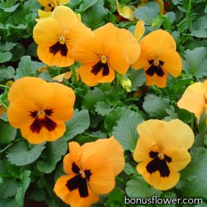 Виола Cello™ deep orange with blotch