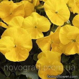Виола виттрока Karma™ Yellow