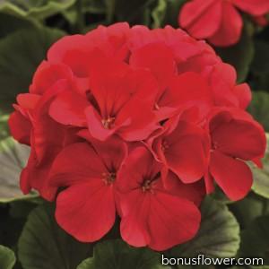 Пеларгония садовая BullsEye Red