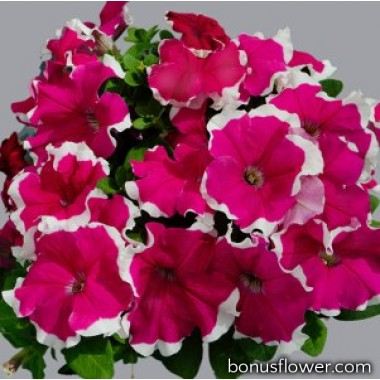 Петуния крупноцв Limbo GP rose picotee