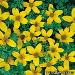 Череда Golden Eye, Bidens humilis
