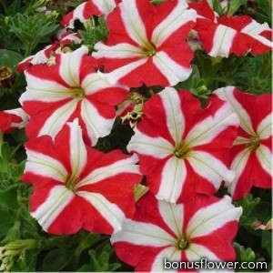 Петуния многоцветковая Lambada Red Star
