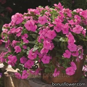 Катарантус роз Cora®Cascade™ Lilac