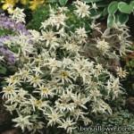 Эдельвейс альпийский - Leontopodium alpinum