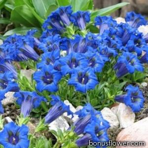 Генциана (Гореча́вка) синяя