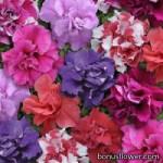 Петуния многоцветковая - Petunia multiflora