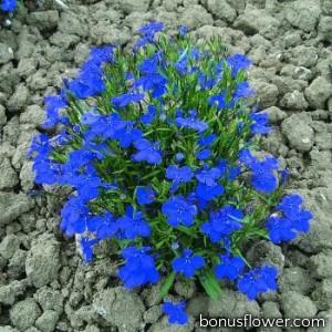 Лобелия черешковая COBALT BLUE