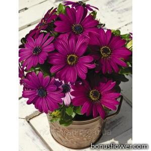 Остеоспермум Эклона Asti™ Purple