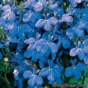 Лобелия черешковая  RIVIERA SKY BLUE