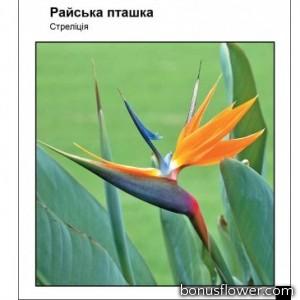 Стрелиция Райская птичка
