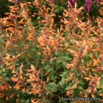Лофант - Agastache aurantiaca