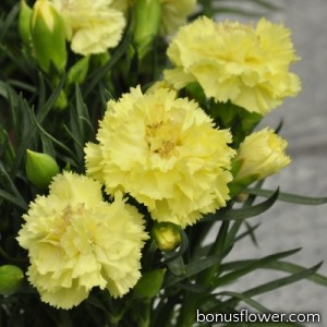 Гвоздика Шабо Lillipot: Yellow