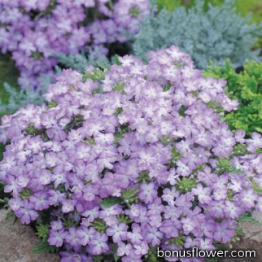 Вербена Tuscany® Lavender Picotee