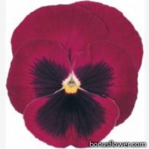 Виола виттрока Power: Rose Blotch