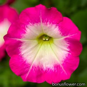 Петуния FotoFinish™ Rose Morn -160