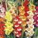 Гладиолус необычный - Gladiolus glamourglad