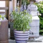 Сальвия мучнистая - Salvia farinacea