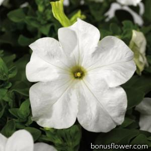 Петуния крупноцв Tritunia F1 Fresh White