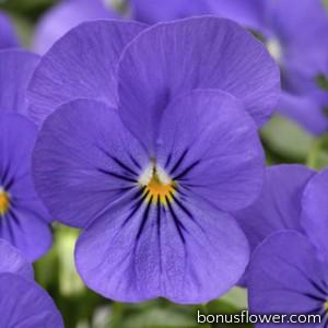 Виола Penny™ Blue