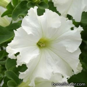 Петуния Frillytunia White