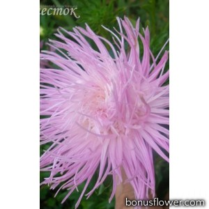 Астра игольчатая розовая