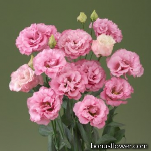 Эустома (Лизиантус) Corelli 1 Deep Pink