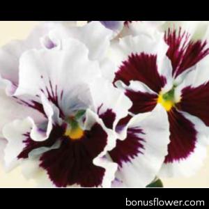 Виола Flamenco F1 White with Blotch