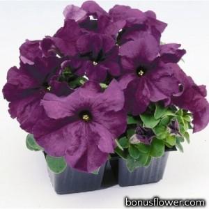 Петуния крупноцв Limbo GP deep purple