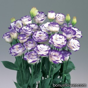 Эустома (Лизиантус) Rosita® 2: Blue Picotee