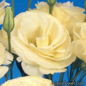 Эустома (Лизиантус) Mariachi®: Yellow