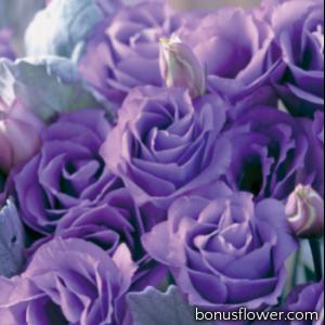 Эустома (Лизиантус) Croma 4 Lavender Imp.